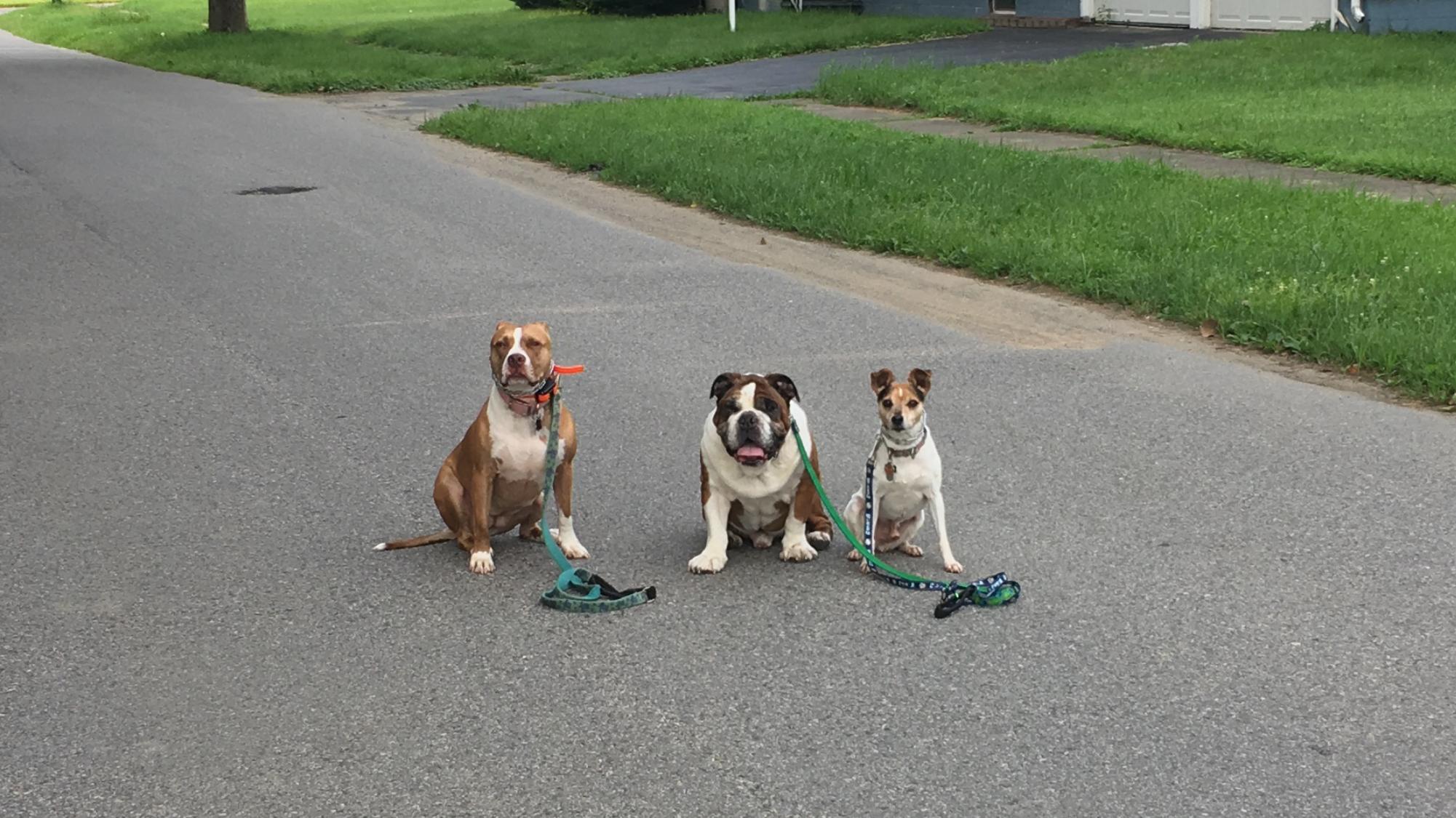 three dogs on walk